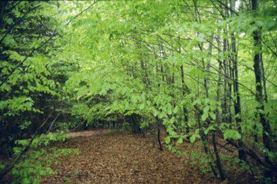 (cod 4275) Rezervația naturală Pădurea Dălhăuți