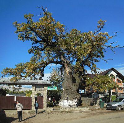 (COD 3045) – Stejarul lui Stefan cel Mare Cajvana Suceava