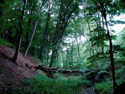 (cod 6613) Pădurea Valea Fagilor