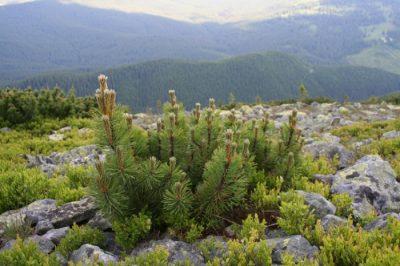 (cod 4273) Rezervația naturală Muntele Goru